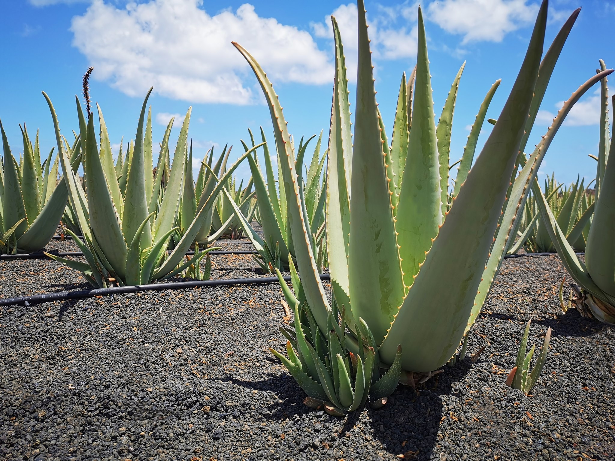 Aloe Vera – planta vindecatoare